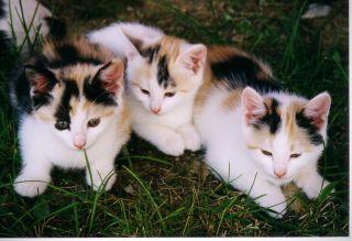 när kan kattungar börja äta vanlig mat